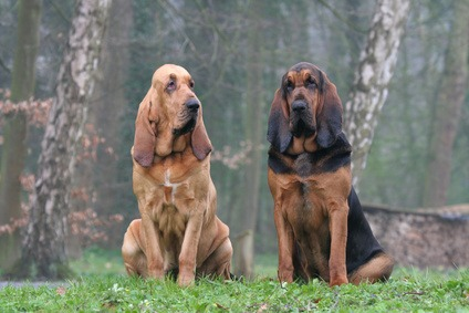 chien de chasse Saint-Hubert