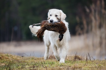 chasse avec un chien golden retriever