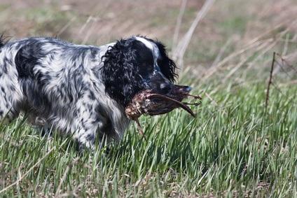 chien de chasse de race english springer