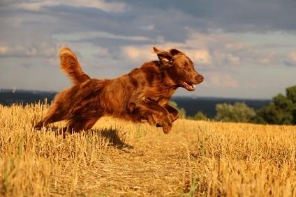 Aller à la chasse avec un race de chien de chasse setter irlandais