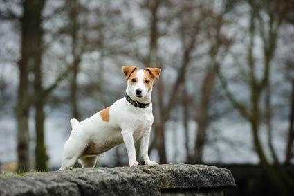 Chasser avec un chien de race jack Russel