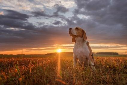 chien beagle à la chasse